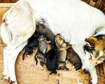 How long are dogs pregnant?